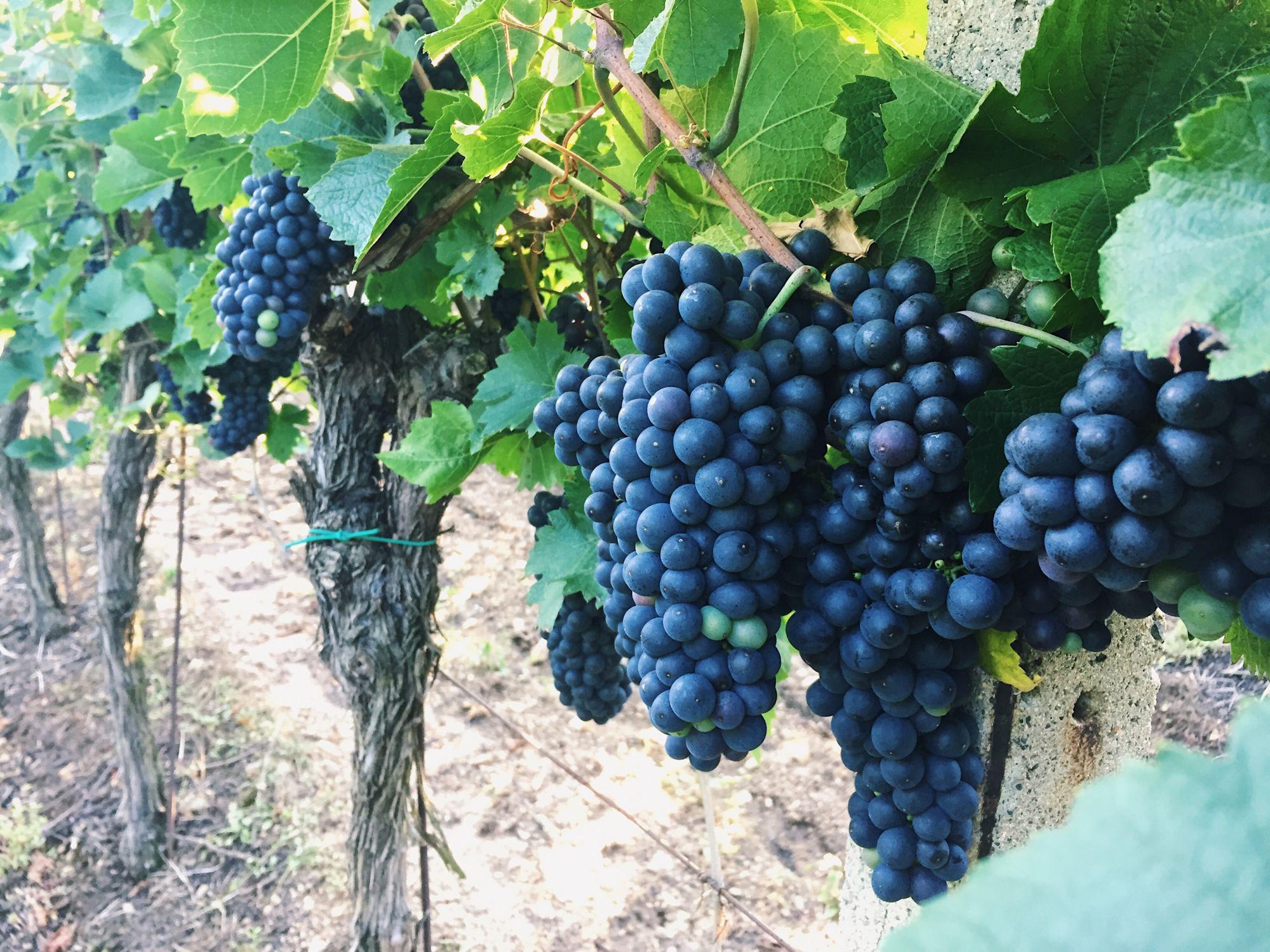 svatovavřinecké žabčice vinařství měřínský